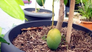Photo of طريقة زراعة المانجو في المنزل